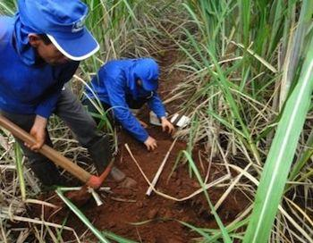 Preparing the mololith to extract soil macrofauna according TSBF methods in a sugarcane crop in Goiás state.
