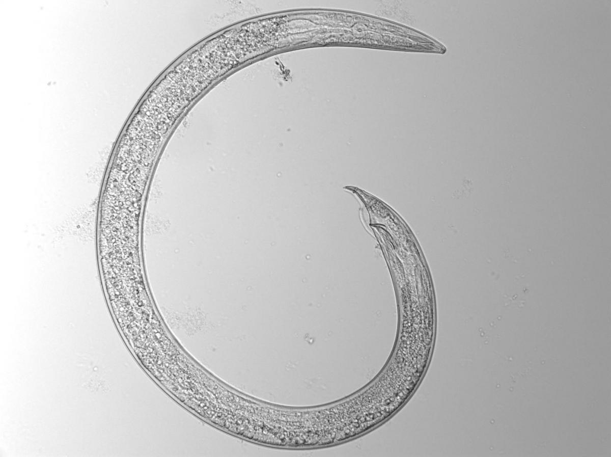 Plant-feeding nematode( Dorichodoridae tylenchorhynchus)