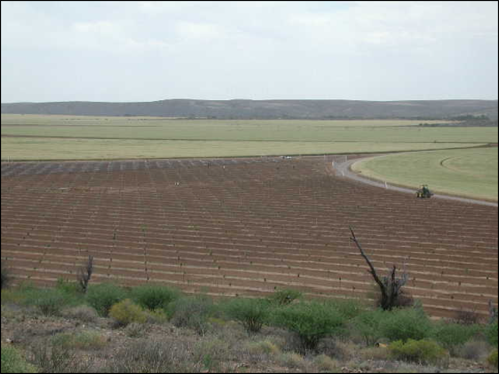 A young pistachio orchard (foreground) in a larger maize cropping system on the banks of the Orange River, Prieska, South Africa.