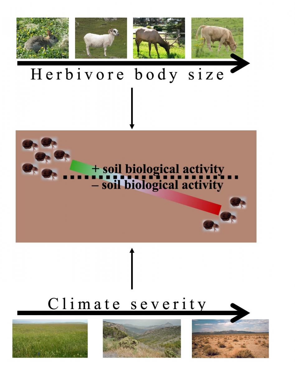 Conceptual model of how herbivore size and climate determine the effect of herbivores on the soil community. Modified from Andriuzzi & Wall 2017