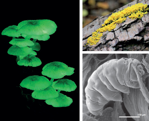 "Left, Mycen chlorophos, a bioluminescent fungus found in Asia, Top right, Fuligo septica is also known as ""dog vomit slim mould,"" Bottom right, scanning electron image of a tardigrade Photo credits: S. Axford, Stu's Images, J. Méndez, and M.J.I. Briones"