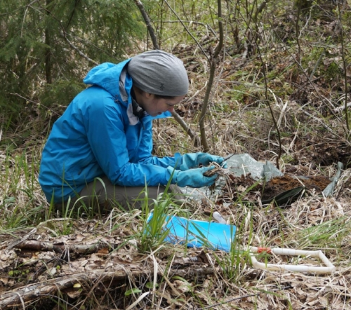 Sampling for earthworms in the boreal forest. Image by R. Rocha