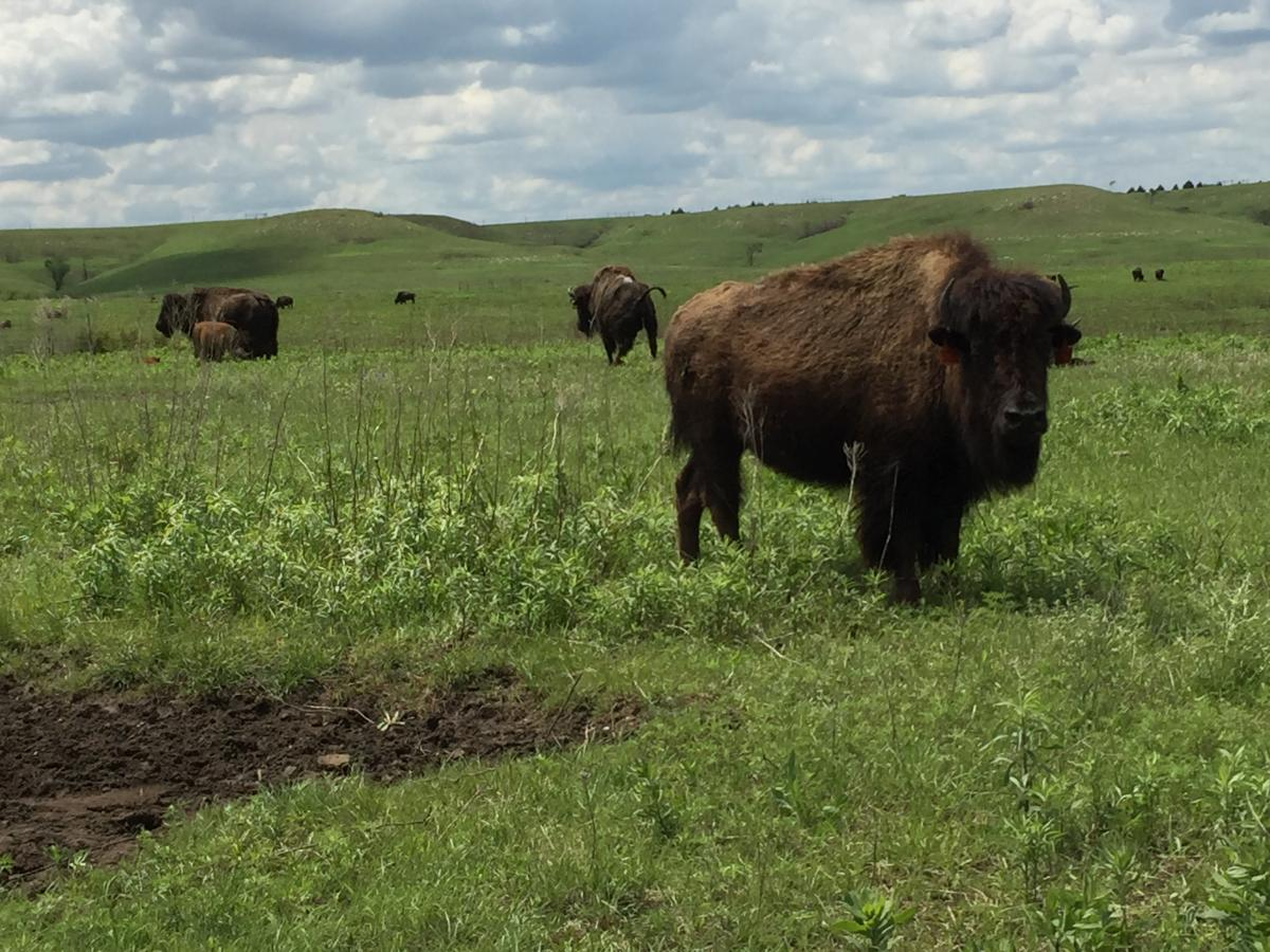 Bison on Konza Prairie Biological Research Station near Manhattan, Kansas, USA. Photo credit Adam Cobb