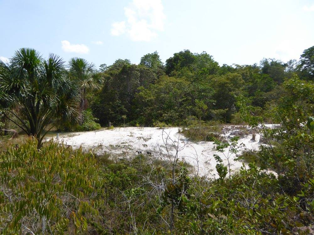 """Naturally open area on Amazonia. These areas have an insular distribution in """"seas"""" of tropical forest and are associated with white sand soil. This picture was taken on """"Reserva da Campina"""", close to Manaus, AM, Brazil.                              Photo credit C.Ritter"""
