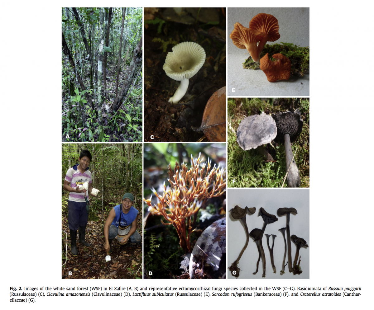 Mycorrhizal research in the field: ectomycorrhizal fungi from Colombian Amazon. Reference:   Vasco-Palacios et al. 2018.  Fungal Ecology