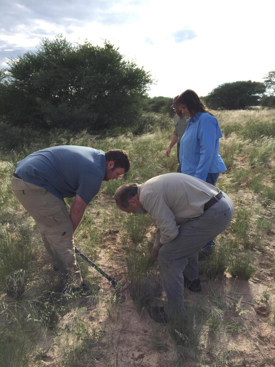 Eric Duell (left), Seton Bachle (middle), Gail Wilson (middle), and Dave Hartnett (right) sampling grasses in Western Botswana. Photo credit, Adam Cobb.