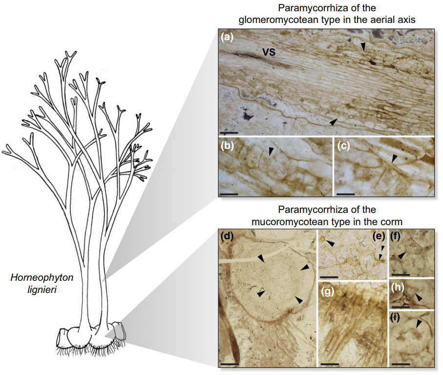 Figure 2 of Strullu-Derrien et al. (2018). Fossil (c. 407 million years) of the Rhynie plant  Horneophyton lignieri . Left: plant (5-10 cm height) habitat. Right: 'Paramycorrhizas' (mycorrhizal-like) structures such as hyphae, vesicles, arbuscules, and spores from different fungal phyla (Glomeromycotina and Mucoromycotina).  Figure reproduced with permission of the authors and New Phytologist.