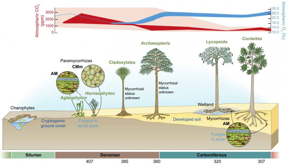 Figure 3 of Strullu-Derrien et al. (2018) showing the evolution of the endomycorrhizal symbioses during the Palaeozoic, and its relation with CO2 and O2 atmospheric concentrations. AM, arbuscular mycorrhizas; CMm, coil-forming mycorrhizas in Mucoromycotina. Figure reproduced with permission of the authors and New Phytologist.