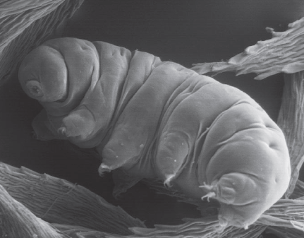 """Tardigrades - Tardigrada is a phylum of microscopic animals commonly called """"water bears"""" or """"moss piglets."""" Tardigrades are known for being incredible tough, withstanding periods of extreme drought and cold. They eat bacteria, plants, and other microscopic organisms. There are approximately 1150 known species of tardigrades."""