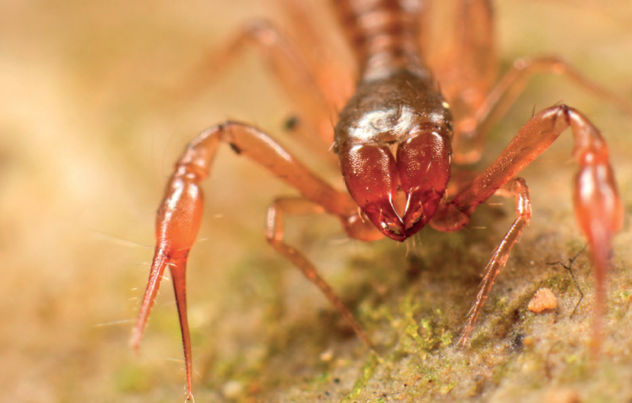 Pseduoscorpions - Pseudoscorpions are small arachnids that resemble scorpions with large front pinching appendages called pedipalps, but they do not have elongated abdomens nor venom. There are about 3,400 described species of pseudocorpions and they eat other small animals including ants, mites, and beetle larvae.