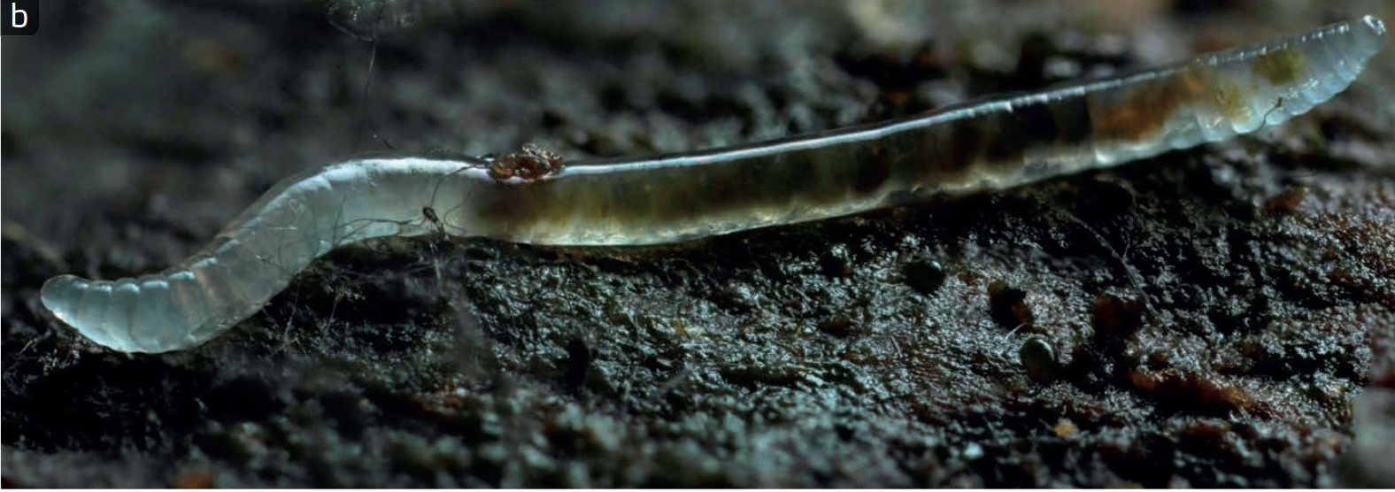 Enchytraeides - Enchytraeidae is a family of segmented worms (phylum Annelida) commonly known as potworms. They dominant members of soil communities in cold, wet, and organic rich habitats like peat bogs and moorlands. They eat bacteria, fungi, and dead plant material.