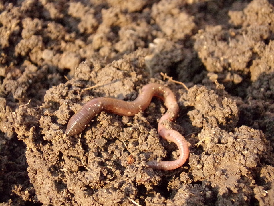 Earthworms - Earthworms are segmented worms belonging to the subclass Oligochaeta in phylum Annelida. They are perhaps the most widely-recognized soil animal and play important roles in decomposing dead plant material and structuring soil through burrowing action. There are three functional types of earthworms: epigeics, which live on the surface in the litter layer, anecics, which eat litter from the surface and burrow vertically down into soil, and endogeics, which live entirely underground and eat soil.