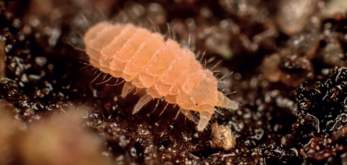 Collembola - Collembola, also known as springtails, are a group of hexapods (subphylum of Arthropoda) distinguished by having internal mouthparts. Many Collembola have an appendage called a furca on their abdomen that acts as a spring, launching their bodies forward. Collembola are found in a wide diversity of soil habitats and can be important drivers of decomposition.