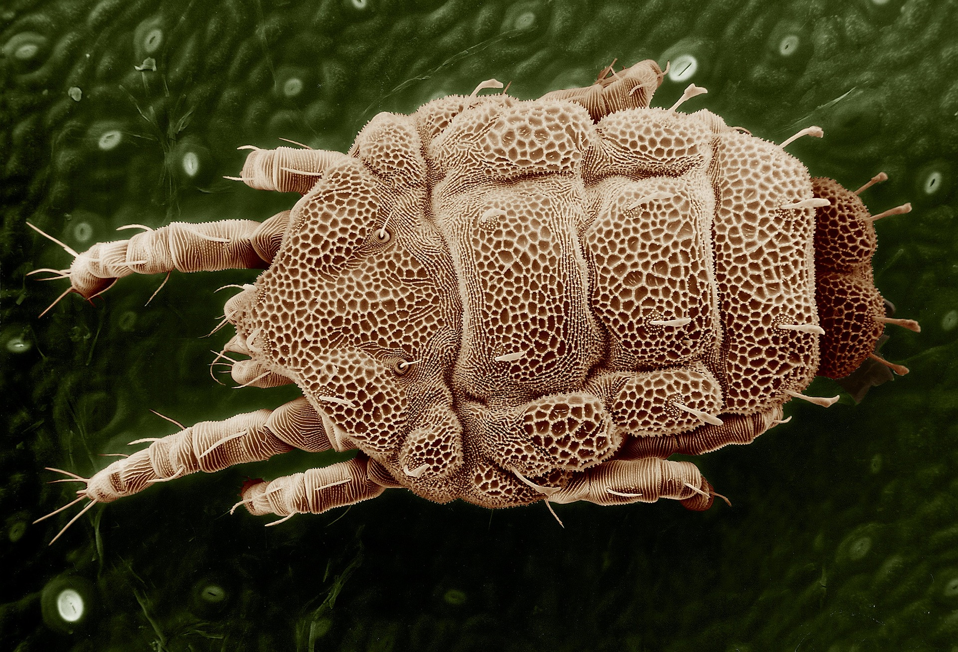 Acari: - Acari are the group of Arachnids including mites and ticks. Mites are both very diverse and very common in soil, accounting for up to 40% of total soil microarthropods. Mites have specific feeding patterns and different species feed on microbes (bacteria and fungi), dead plants and animals, and other soil animals.
