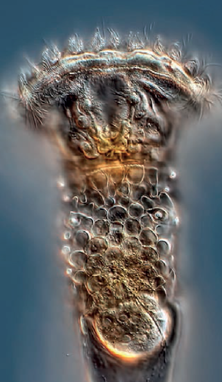 Rotifers - Rotifera is a phylum of microscopic animals that move through water and water films by beating hair-like cilia on a rounded structure on their heads, called a corona. The Class Bdelloidea includes all the important soil-inhabiting rotifers. Interestingly, all Bdelloid rotifers are female!