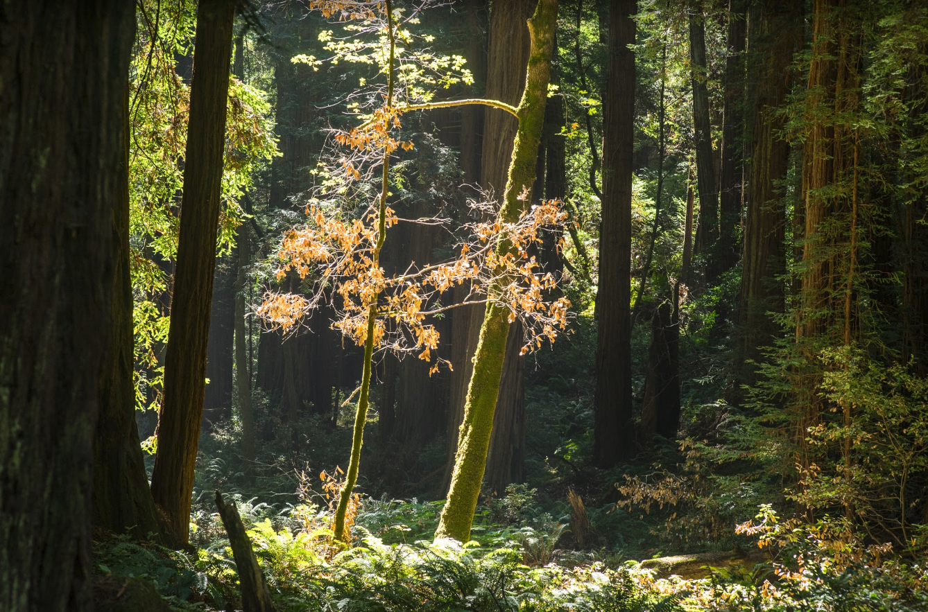 Forests such as Muirwoods (pictured) are likely home to an abundance of undescribed underground giants. (Photo credit: Frederik Schulz)