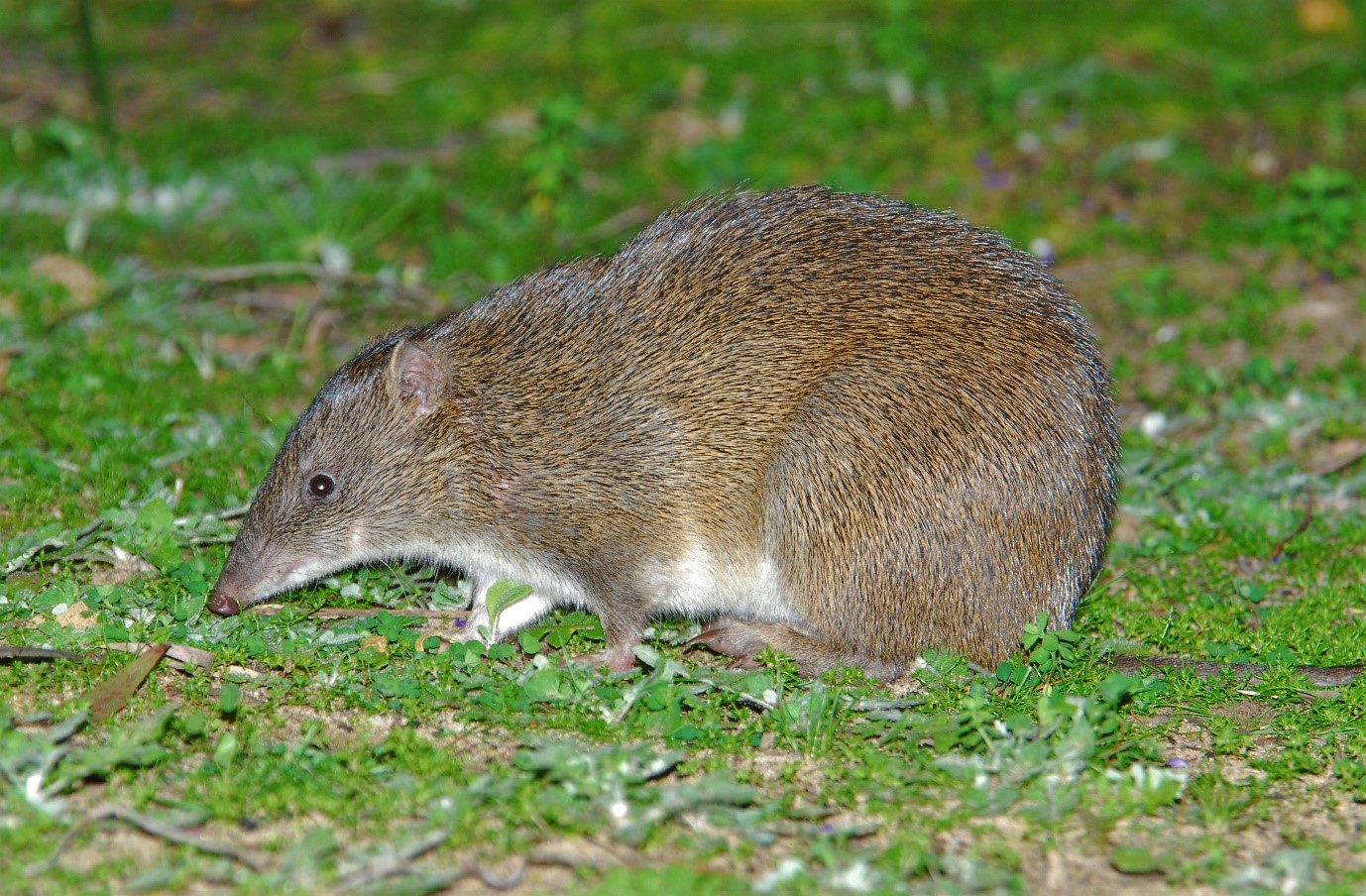 Figure 1. The quenda is a marsupial bandicoot, endemic to south-western Australia that digs prolifically while searching for subterranean food.