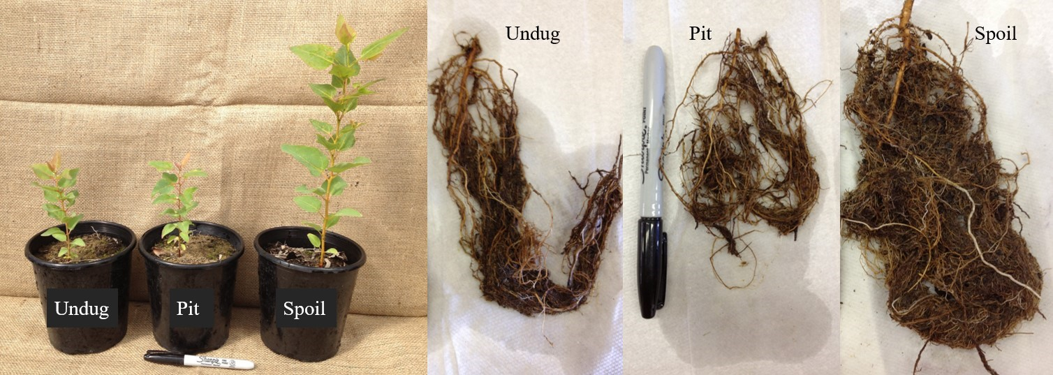 Figure 4. Seedling height and root biomass of tuart gum trees grown in soil collected from different locations (undug, pit and spoil) of a quenda foraging pit.