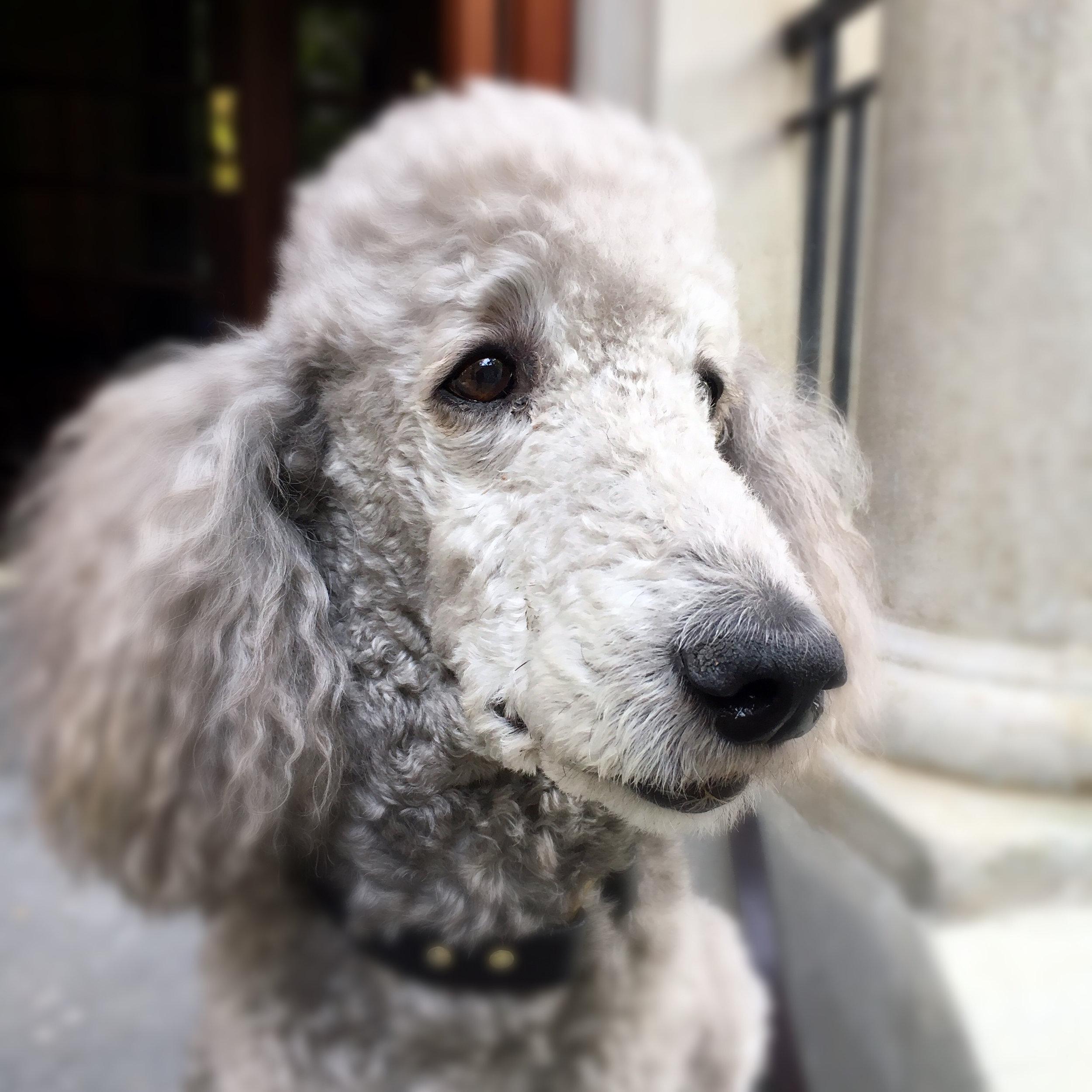 Max-Poodle.JPG