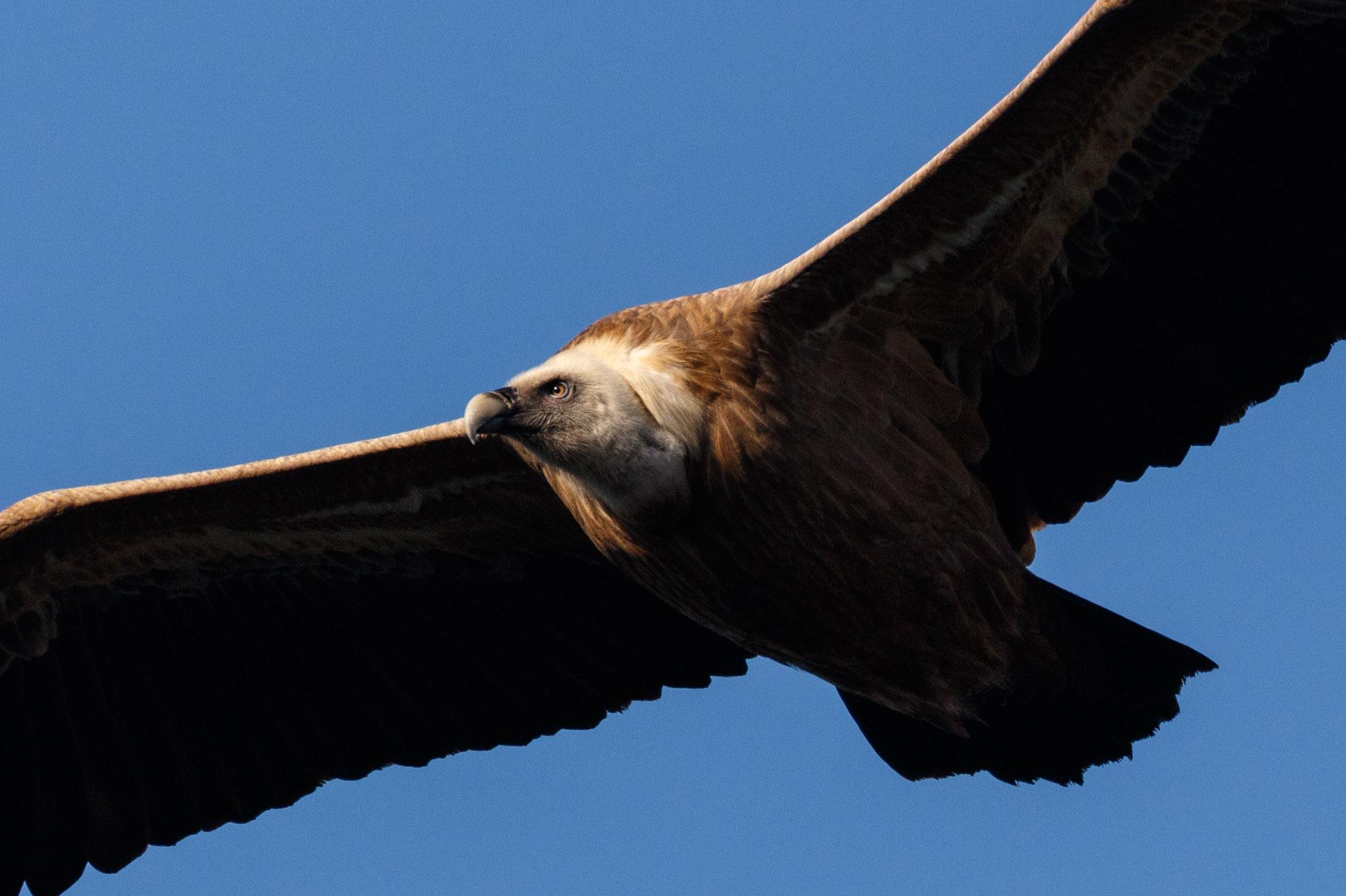 Gamla's Griffon Vulture