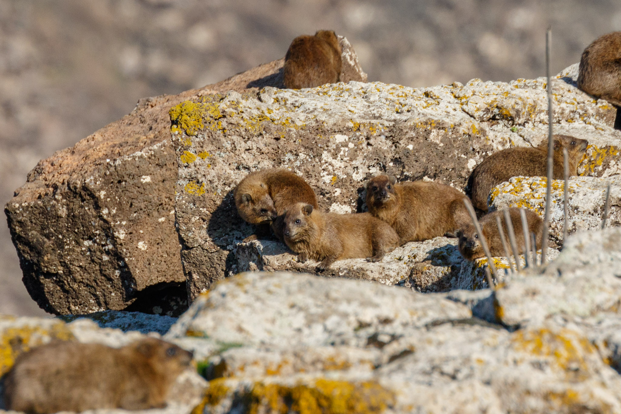 Rock hyrax bathing in the sun