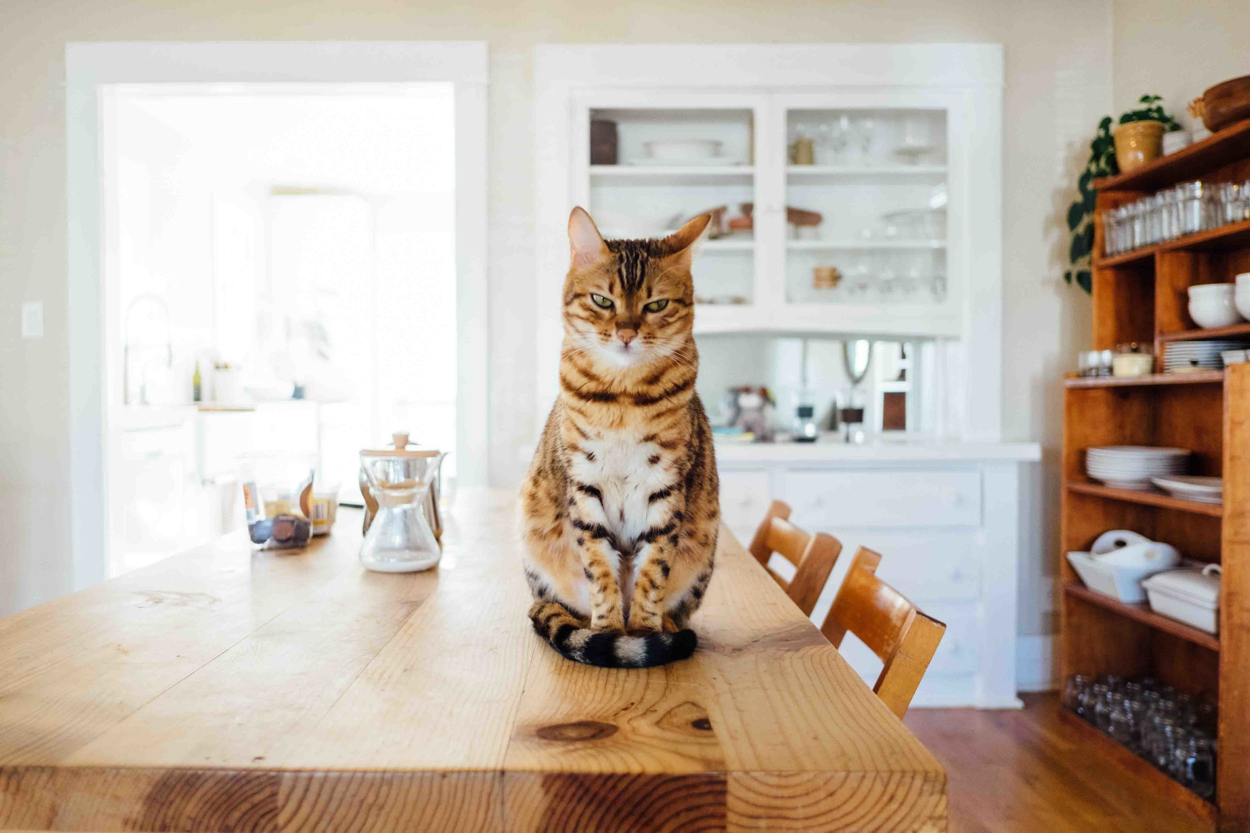 cat sitting in table