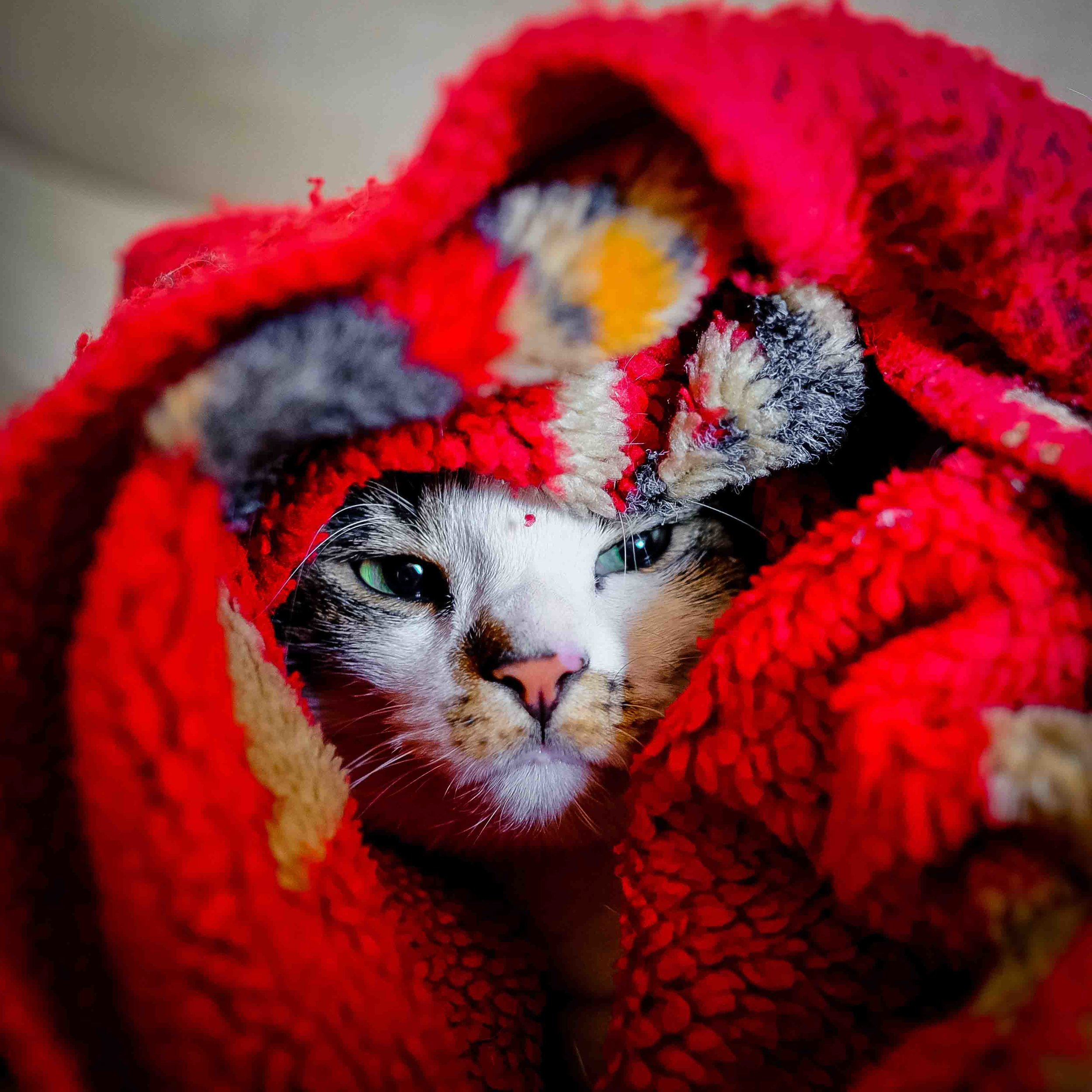 cat wrapped in blanket