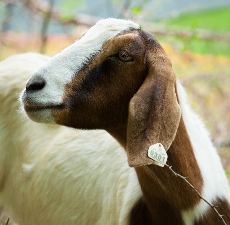 CMS-Goats-NDPhoto-7.jpg