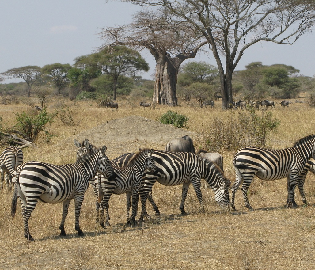 Zebra and wildebeest in a mixed herd in Tarangire NP.