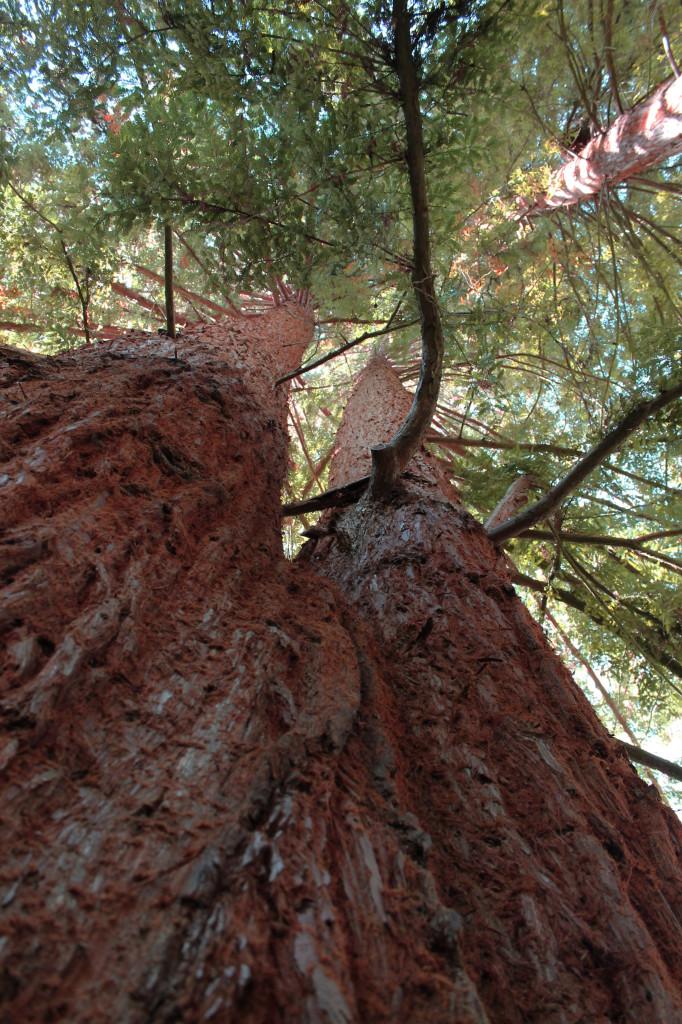ashland-redwoods.jpg