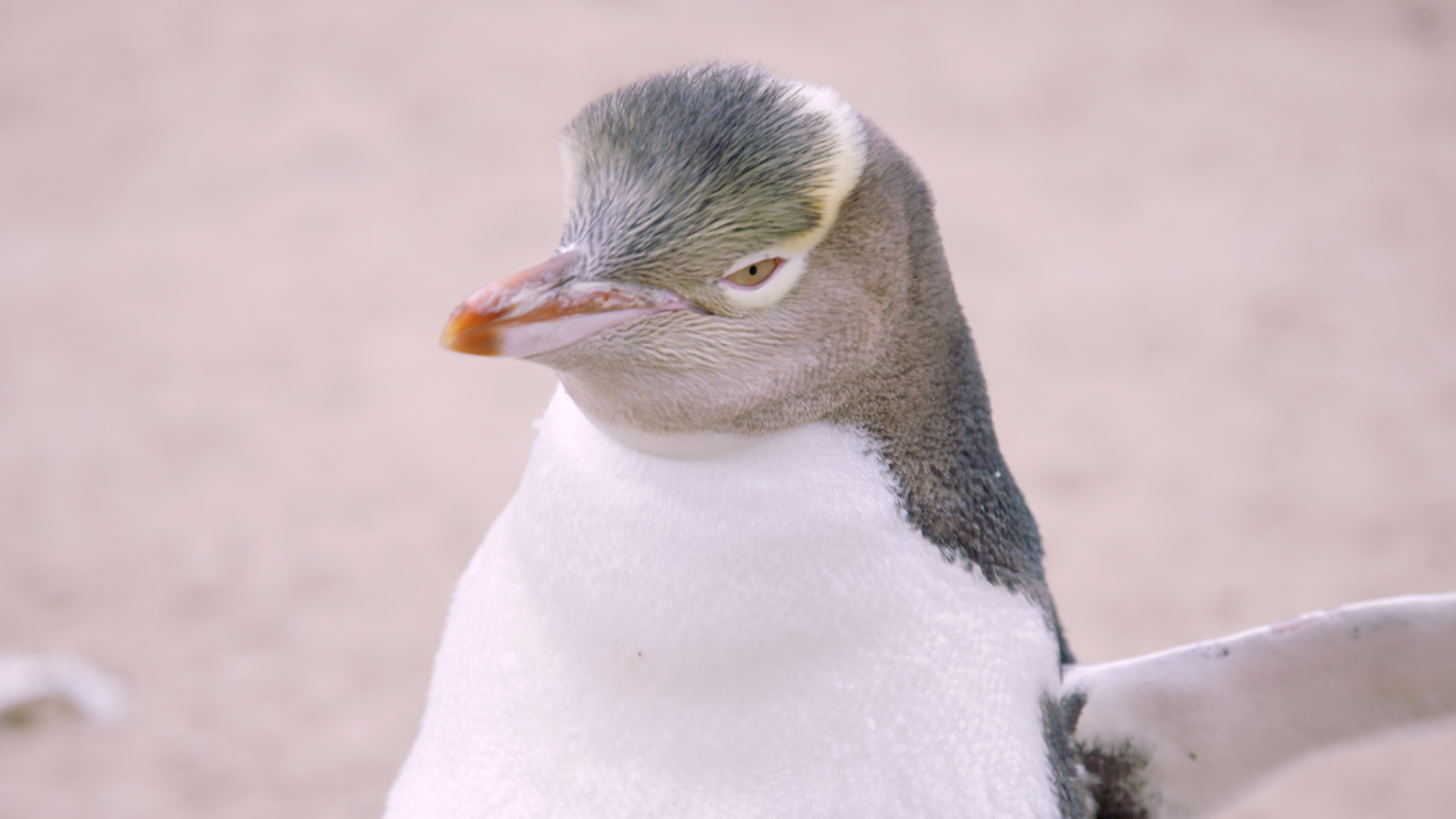 Endangered_YellowEyedPenguin_Offline.00_04_44_18.Still001.jpg