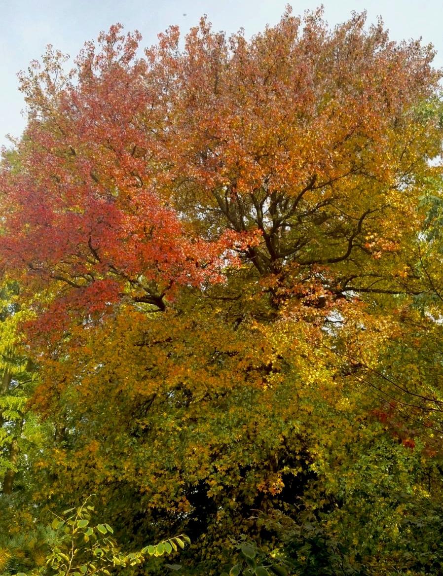 Deze mooie amberboom staat in Artis.