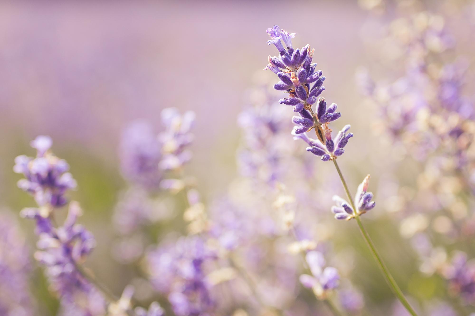 120715 - Surrey - Daytime - Lavender 001.jpg
