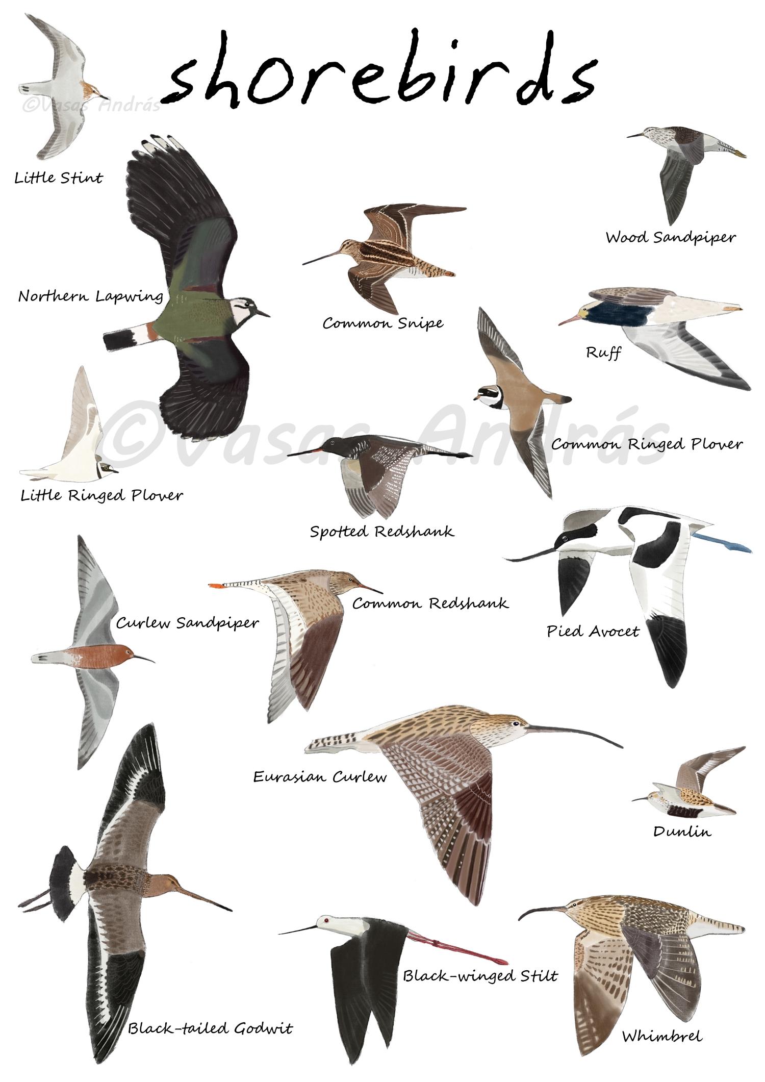 Flying Shorebirds