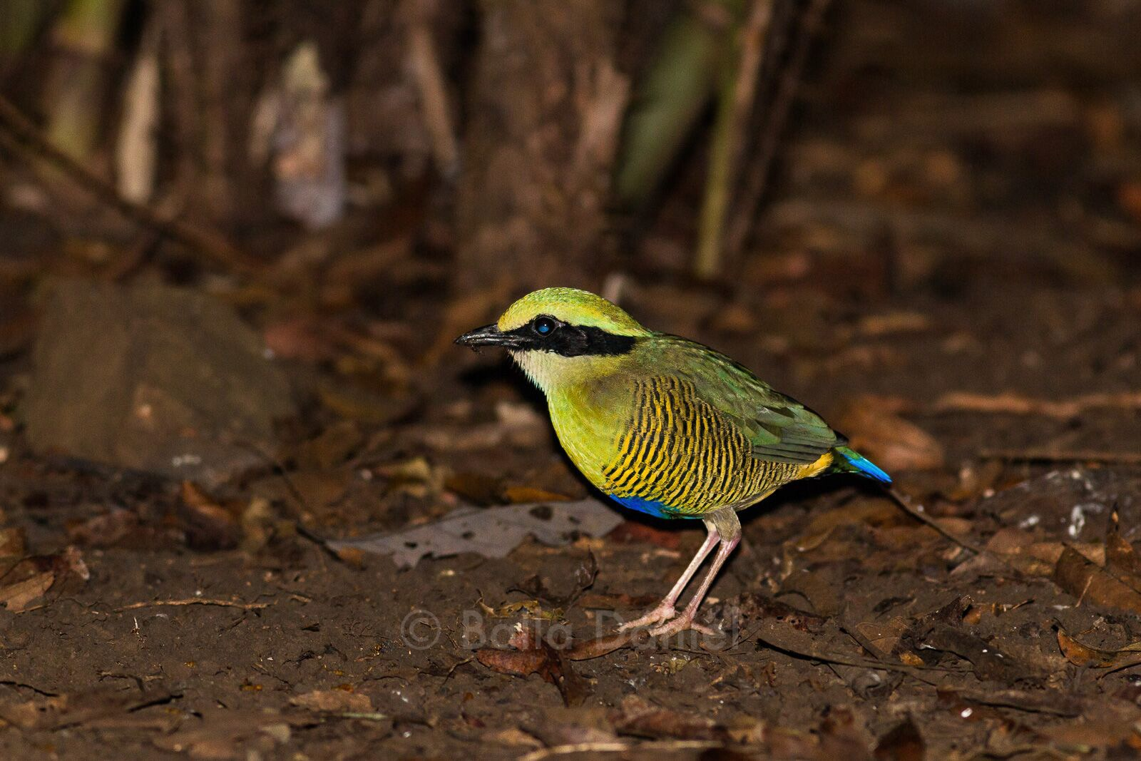 Male Bar-bellied Pitta, Cat Tien National Park. Photo © Dániel Balla