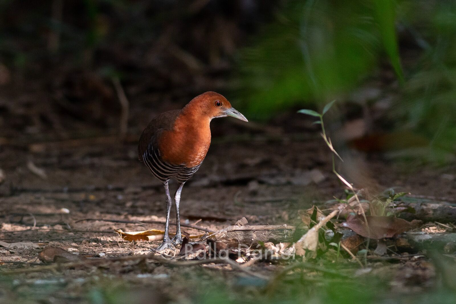 Slaty-legged Crake, Cat Tien National Park. Photo © Dániel Balla
