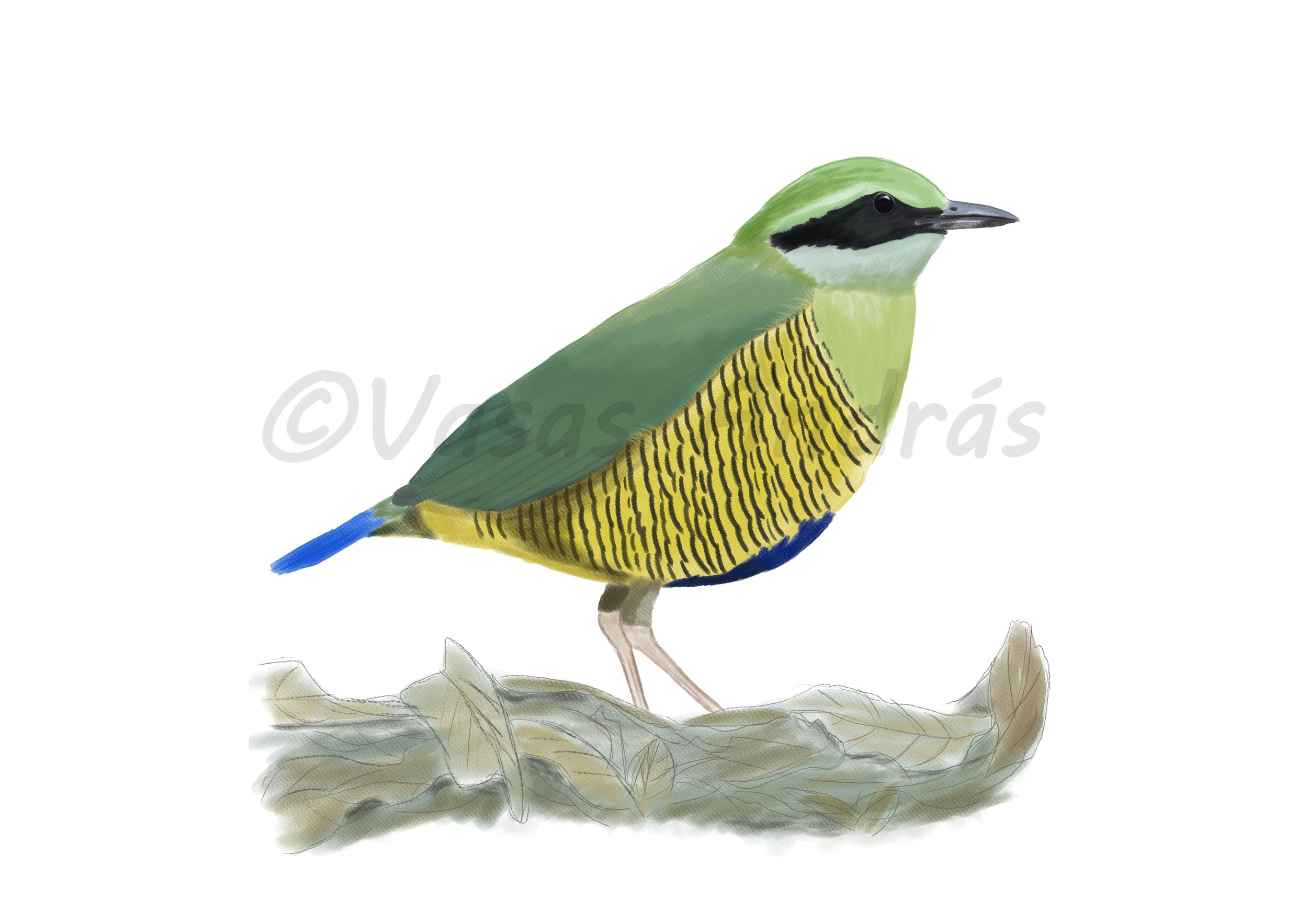 Bar-bellied Pitta, inspired by birding experiences in Cat Tien. Check out András's artist page  here .