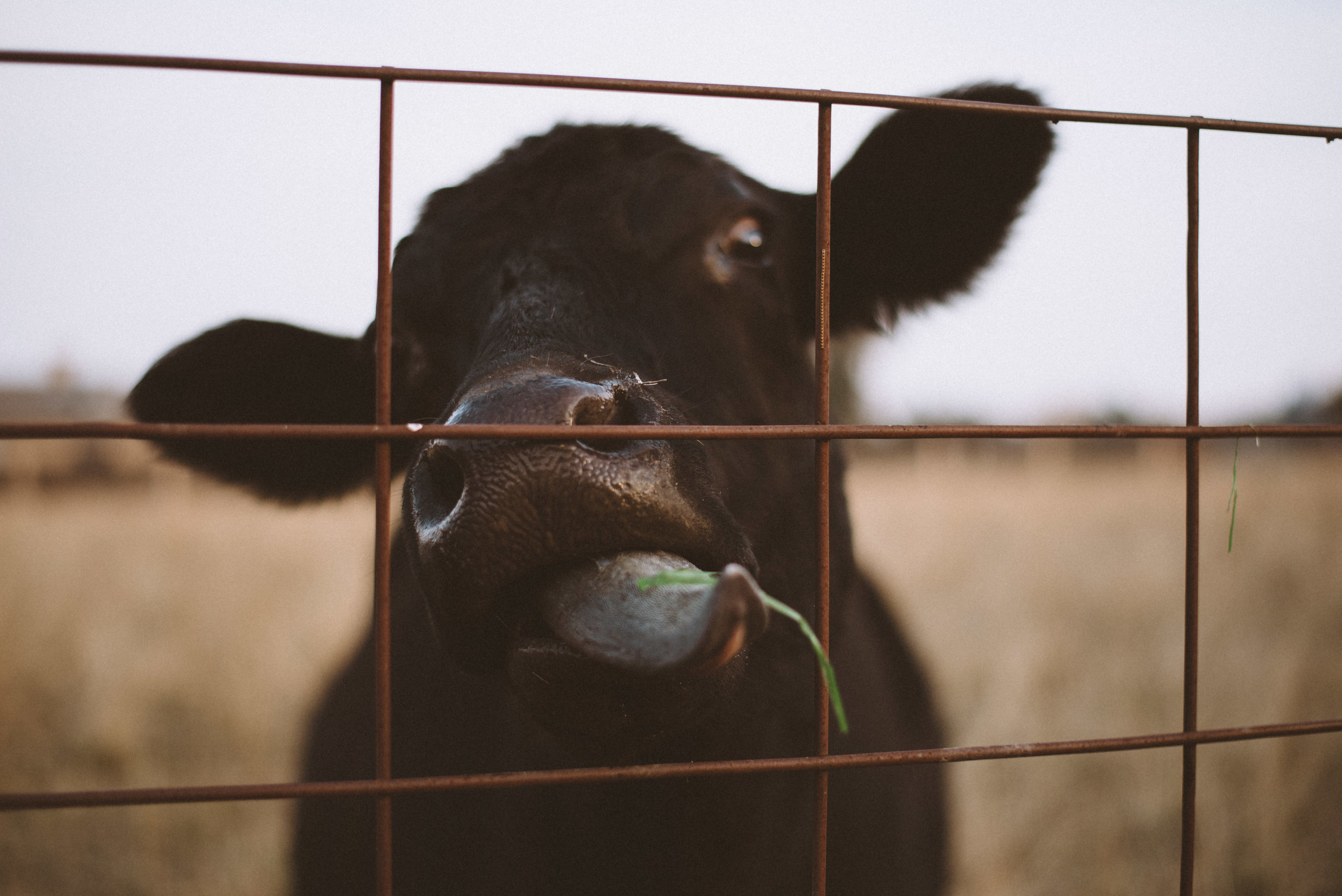 cow eating grass behind fence