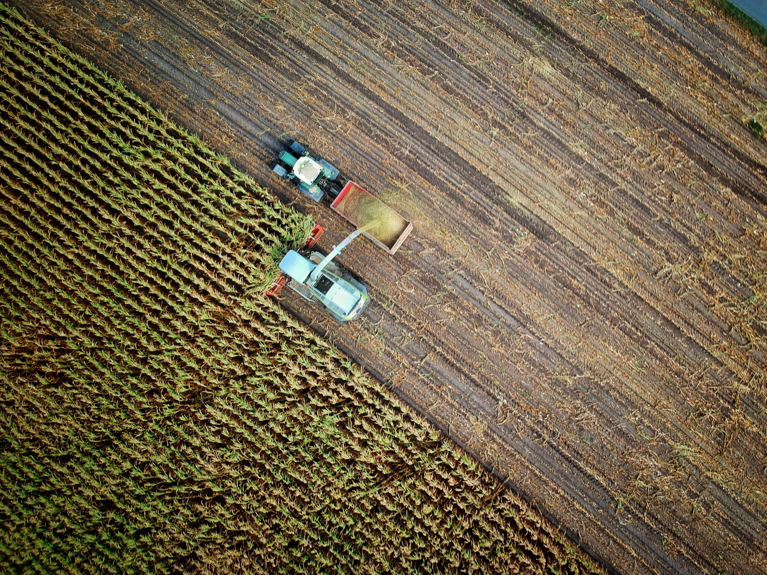 Combine cutting corn with tractor