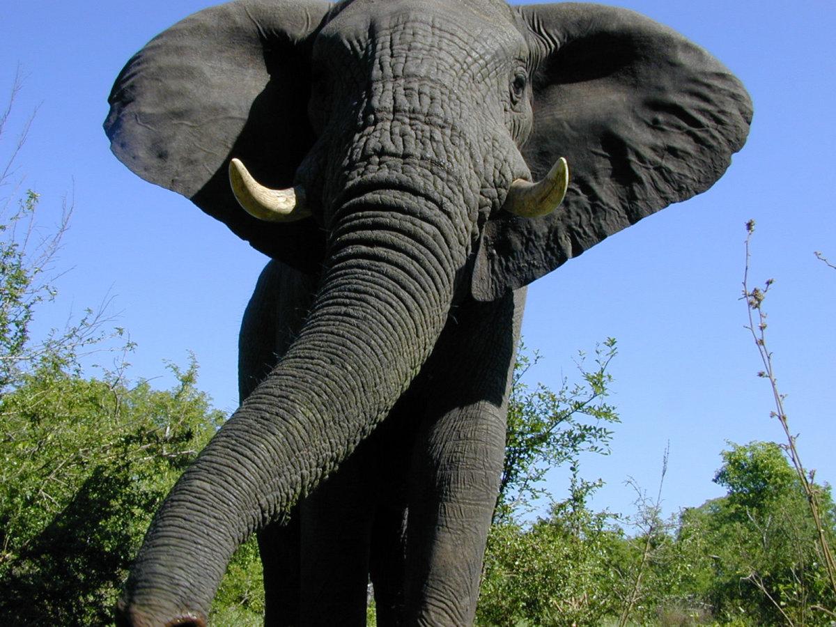 elephant+malilangwe+gr1+zimbabwe+2004.jpg