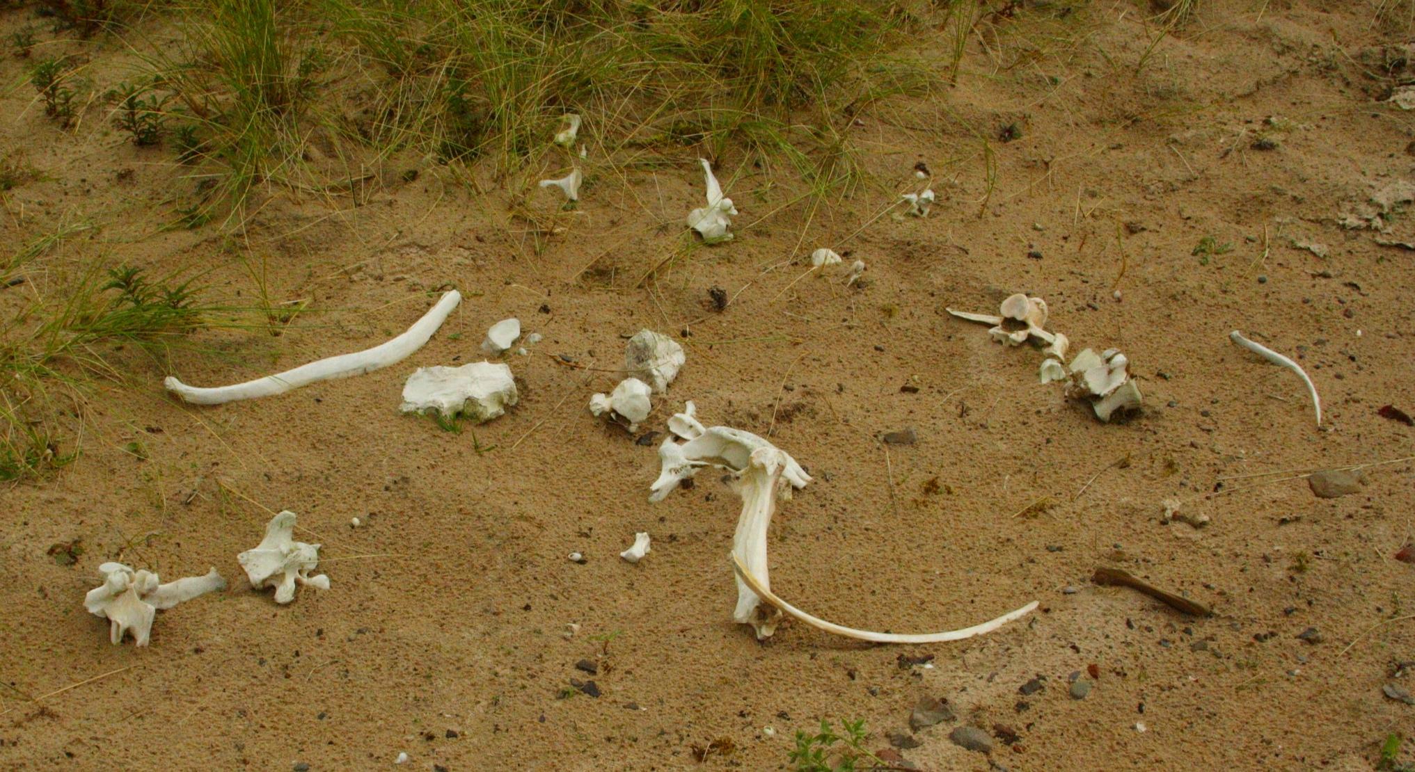 Bones in the dunes… whose ?