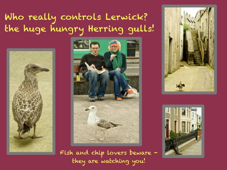 Shetland;s huge herring gulls