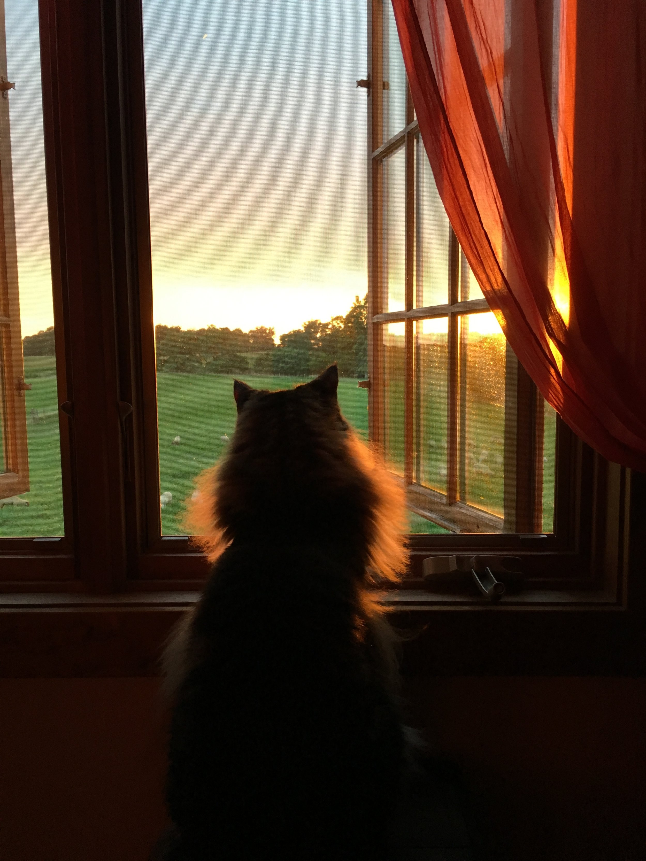 Nugget looking out at the sheep once we arrived to my parents' house in Indiana.