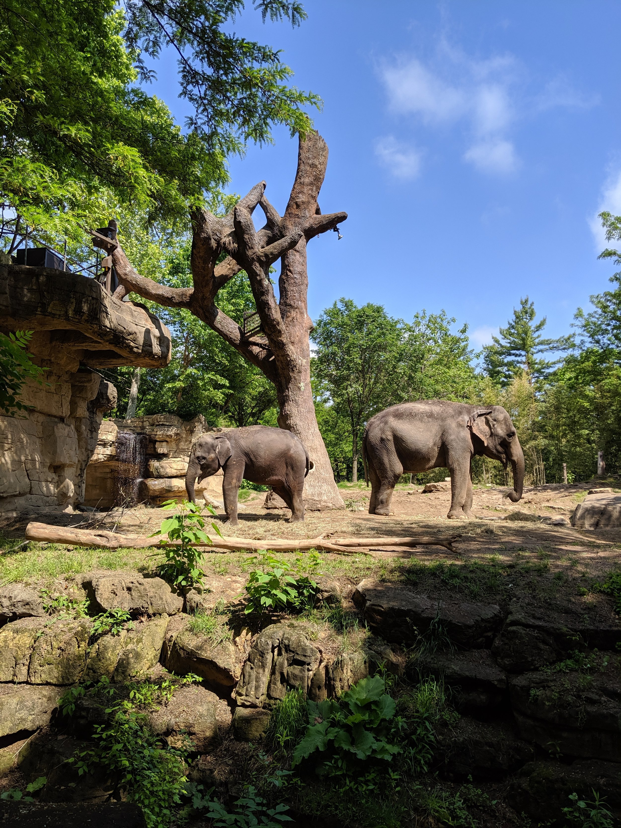 Two of the elephants at the St. Louis Zoo.