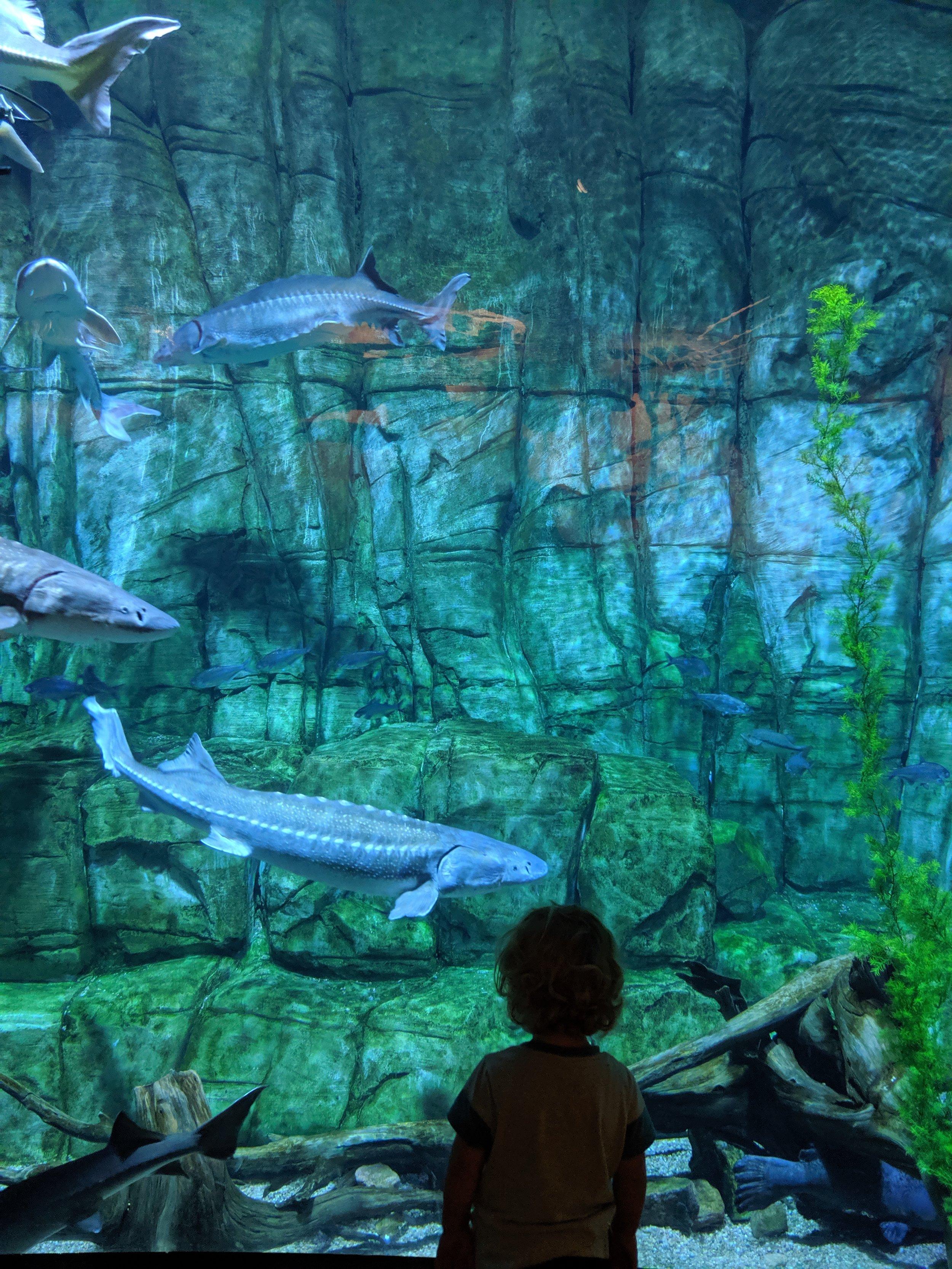 Fresh water fish at Denver's Downtown Aquarium in Denver, Colorado.