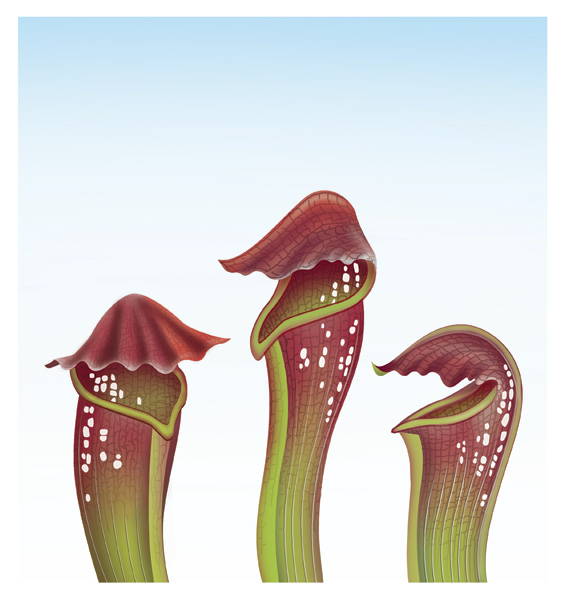 PitcherPlant.jpg