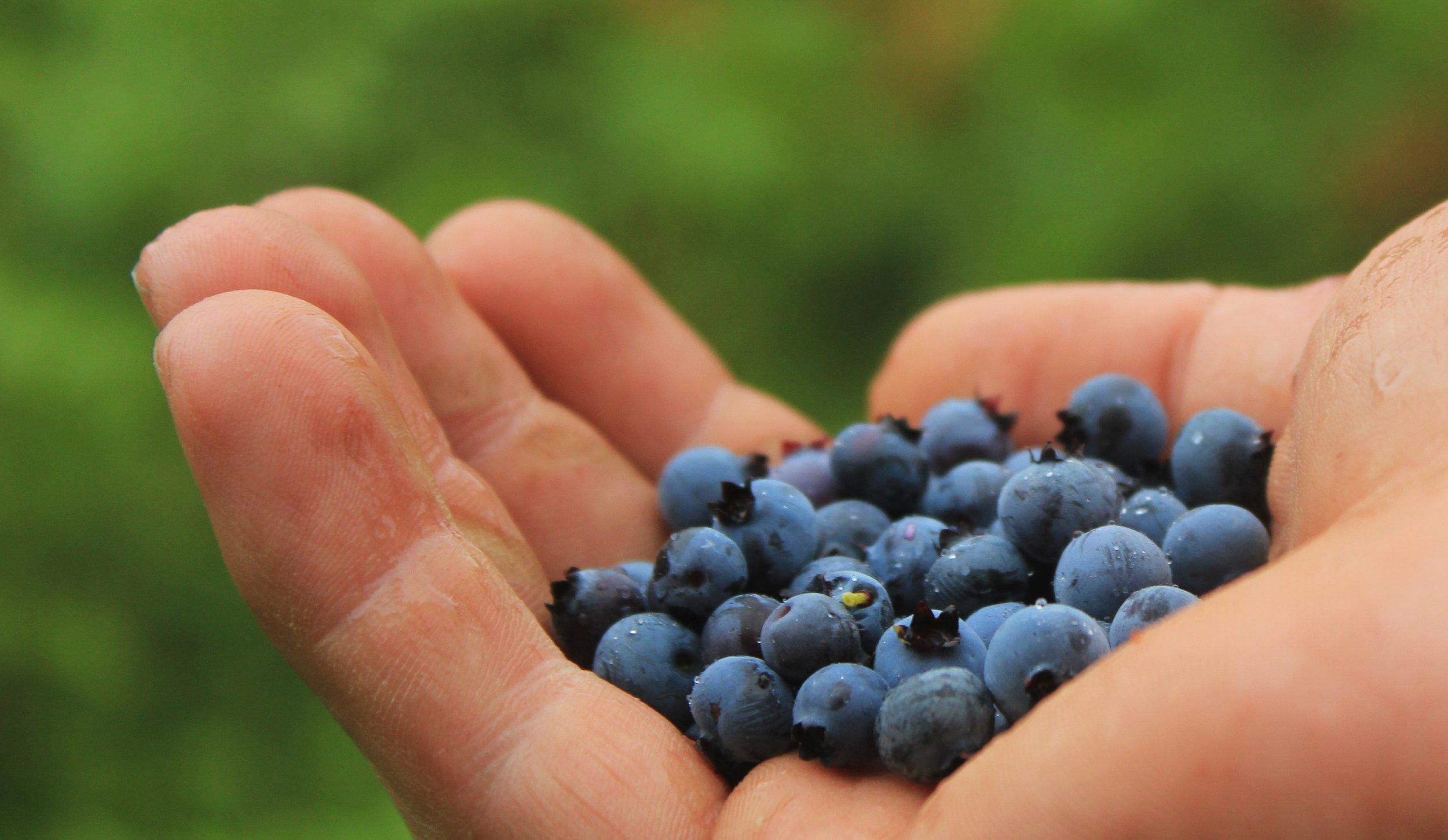 blueberries-801571.jpg