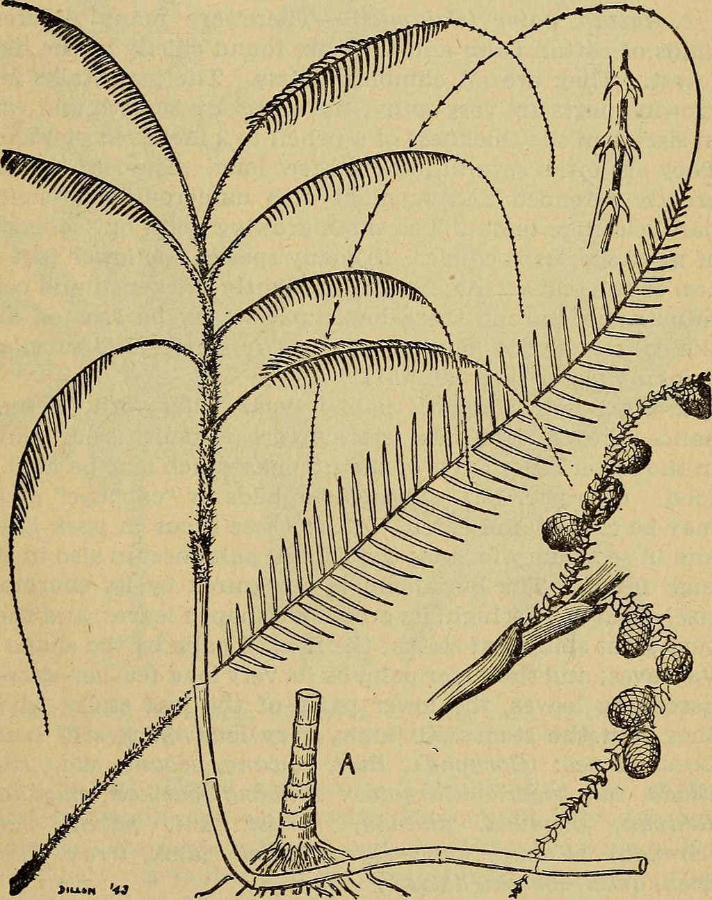 Emergency_food_plants_and_poisonous_plants_of_the_islands_of_the_Pacific_(1943)_(21296633031).jpg