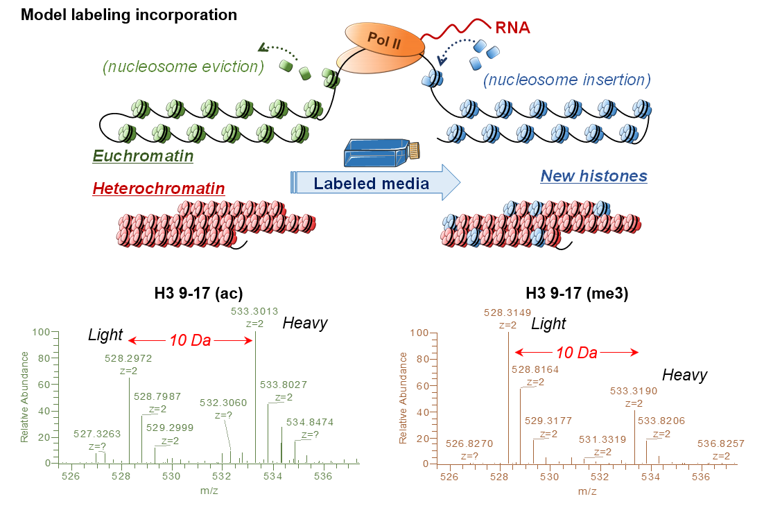A mass spectrometry-based assay using metabolic labeling to rapidly monitor chromatin accessibility of modified histone proteins - Sidoli S, Lopes M, Lund PJ, Goldman N, Fasolino M, Coradin M, Bhanu NV, Kulej K, Vahedi G and Garcia BA (Scientific Reports, 2019)