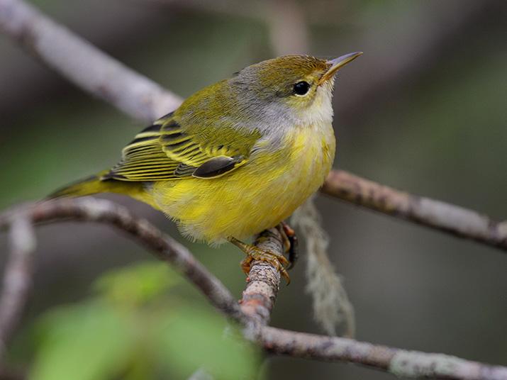 m-yellow-warbler.jpg